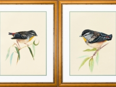 Spotted Pardalote #1 & Spotted Pardalote #2